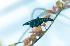 Beautiful green and black butterfly sitting on green leaves, wildlife scene from jungle stock images