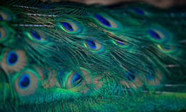 Beautiful green and blue peacock plumage. Texture of beautiful green and blue peacock plumage Royalty Free Stock Images