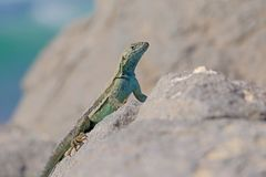 Beautiful green blue turquoise lizard, pacific coast, Atacama Desert, northern Chile. South America Royalty Free Stock Photography