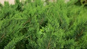 Beautiful green branches of cypress, arborvitae move in the wind. Garden, summer, close-up. Beautiful green branches of cypress, arborvitae move in the wind stock video footage