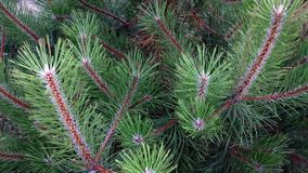 Beautiful green branches of a pine Stock Photo