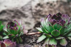 Beautiful green bush of echeveria grows on ground. Echeveria is agave. A dense rosette of green leaves of the succulent with red tips grows on the soil. Side royalty free stock images