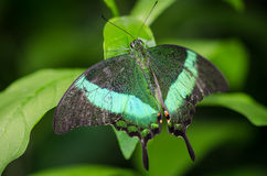 Beautiful green butterfly with wings spread. Image of a beautiful green butterfly with wings spread stock photo