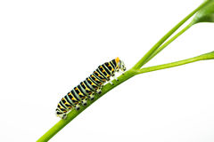 Beautiful green caterpillar creeps on a green leaf isolated Stock Photos