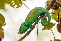 Beautiful green chameleon Stock Images