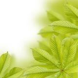 Beautiful green chestnut leaves. Background, Leaves pattern Royalty Free Stock Photo