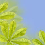 Beautiful green chestnut leaves. Background, Leaves pattern Royalty Free Stock Photos