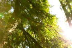 Beautiful green Christmas leaves of thuja tree with bright sunlight beam Stock Photo