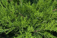 Beautiful green christmas leaves of Thuja trees with soft sunlight. Thuja twig. Thuja occidentalis is an evergreen coniferous tree Royalty Free Stock Images