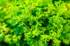 Beautiful green christmas leaves of Thuja trees. Thuja twig, Thuja occidentalis is an evergreen coniferous tree.  Royalty Free Stock Photography