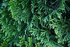 Green Christmas leaves of Thuja trees background. Beautiful green christmas leaves of Thuja trees. Thuja twig, Thuja occidentalis is an evergreen coniferous tree stock photography