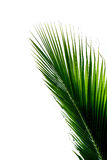 Beautiful green coconut leaf  on white background Royalty Free Stock Photography