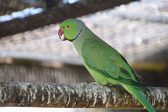 Beautiful green colorful parkets / parakeets Stock Images