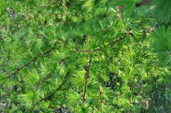 Beautiful green coniferous needles Royalty Free Stock Images