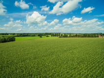 Beautiful green corn plants / agricultural fields with cloudy blue sky Royalty Free Stock Photo