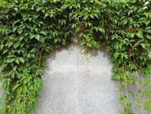 Green creeper on gray wall, Lithuania stock image