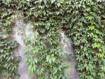 Beautiful green creeper on wall, Lithuania stock photo
