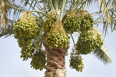 Beautiful Green dates hanging from the tree Stock Images