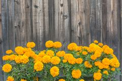 Yellow flowers on dark wood wall background and textured stock photo