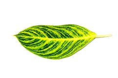 Beautiful green Dieffenbachia single leaf tropical flowering plants in the family Araceae isolated on white background. A Beautiful green Dieffenbachia single stock photo