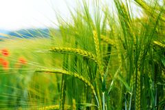 Lush green ears of wheat farmland in the early morning Royalty Free Stock Photography