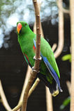 Beautiful green eclectus parrot bird Stock Photography