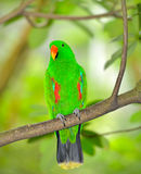 Beautiful green eclectus parrot Royalty Free Stock Photo