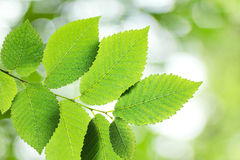 Beautiful green elm leaves Stock Images