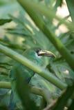 A Beautiful Green Emerald Toucanet Aulacorhynchus prasinus hides in a bush. Green Emerald Toucanet Aulacorhynchus prasinus hides in a bush royalty free stock photos