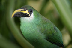 A Beautiful Green Emerald Toucanet Aulacorhynchus prasinus hides in a bush. Green Emerald Toucanet Aulacorhynchus prasinus hides in a bush royalty free stock photo