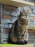 Beautiful green eyed brown tabby cat sitting down. On a shelf and gazing outward. Taken from a cat cafe in Korea Stock Photo