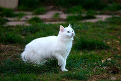 Beautiful green eyed white cat portrait. Royalty Free Stock Photo
