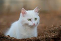 Beautiful green eyed white cat portrait . Stock Image
