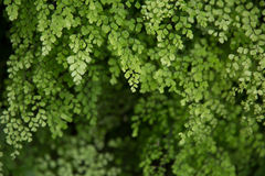 Beautiful green of Fern. Stock Photography