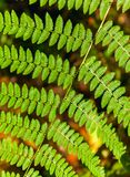 Beautiful green fern in the forest. Close up Stock Photo