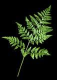 Beautiful Green fern leaf Stock Photography