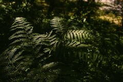 Beautiful green fern leaves as background. Tropical forest close up. Natural foliage texture.