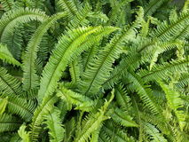 Beautiful Green Fern Plant Background. In the Rainy Season in Thailand Royalty Free Stock Image