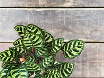 Beautiful green fern with wooden  background. Top view and copy space Stock Image
