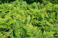 Beautiful Green Ferns Plants In Forest. Natural Floral Fern Background Royalty Free Stock Images