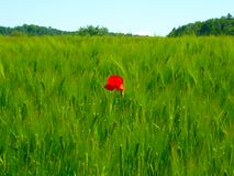 Beautiful green field of barley with a red poppy in the middle, blue sky, taken in Switzerland royalty free stock photo