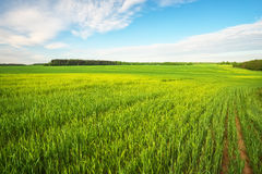 Beautiful green field and cloudy sky. Royalty Free Stock Photo