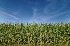 Beautiful green field of corn under a blue sky. Royalty Free Stock Photo