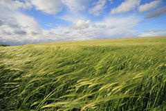 Beautiful green field. Green fields in the height of summer with light clouds and a blue sky Stock Image