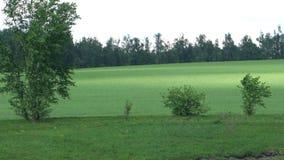 Beautiful green field,long-range shooting. Beautiful green field,long- range shooting stock footage