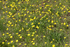 Beautiful green field with lot of yellow dandelions Royalty Free Stock Photo