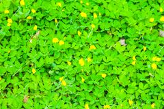Beautiful Green field of Pinto Peanut Arachis pintoi. Select focus with shallow depth of field Royalty Free Stock Photo