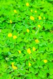 Beautiful Green field of Pinto Peanut Arachis pintoi. Select focus with shallow depth of field Stock Images