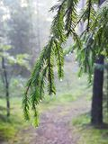Fir tree branch with water drops in forest , Lithuania Royalty Free Stock Photo