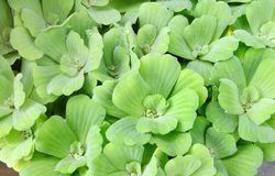 Beautiful green floating water lettuce Royalty Free Stock Images